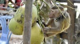 【米国】サルをココナツ収穫に利用…小売り大手がタイ企業の「ココナツミルク」販売停止
