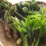 趣味で山菜採りしてるけど質問ある?