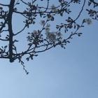 『桜、開花』の画像