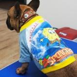 『フレブル犬服プチコション入荷しました!』の画像