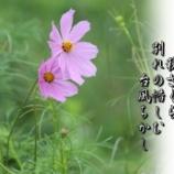 『秋ざくら』の画像