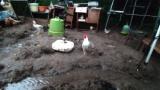 大雨で鶏放牧場に川ができた(※画像あり)
