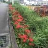 珍しい白いのも。交野市内で彼岸花がいろんな場所で!いつの間にか急に咲き誇ってる!