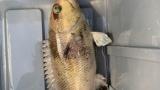 釣りしてんだけど釣れた魚がわからない(※画像あり)