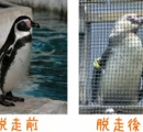 学生、ペンギン盗み海へ放す=水族館「野生では暮らせないのに」 学生「ペンギンのためにやった」 南ア