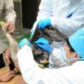 岐阜 長良川鵜飼の鵜もワクチン接種、コロナで出番少なく「太り気味」に