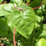 『家庭菜園 オカワカメ 球根を植えてから食べる迄(3月〜11月位)』の画像