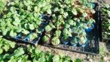 家で野菜栽培してる猛者いる?