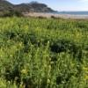 浜辺に咲く菜の花