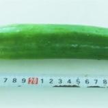 『緑砦館物語(63)夏野菜の成長(2)キューリ』の画像