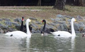 水戸市の池で見た白鳥と黒鳥