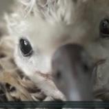 『人間の汚染で犠牲になるアルバトロスの幼鳥たち』の画像