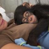 『チンパンジーのリハビリセンター』の画像