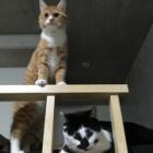 『【ネコ】【ごん太】ニャンカスごんのんライフ【のん太】』の画像