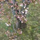 『自称我が家の桜』の画像