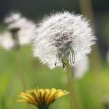 『タンポポの綿毛』の画像