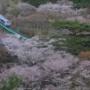 南東北桜めぐり その2:水郡線矢祭山