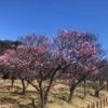 堺市南区にある梅の名所『多治速比売(たじはやひめ)神社』と『荒山公園』に行ってきた
