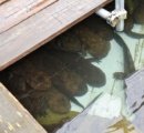 廃校のプールにオオサンショウウオが220匹!交雑種を隔離・・・殺処分の可能性も