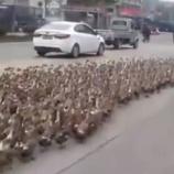 『4000億匹のバッタ駆除のために派遣されたアヒル20万羽が前線手前の町に到着』の画像
