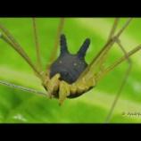 『犬のような顔をもつ蜘蛛。アンドレアス・ケイ氏が見つけた奇妙な生きもの』の画像