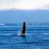 【画像】東京湾にシャチ出没wwwwwwwww