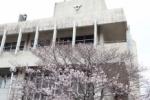 交野市役所と市役所別館の桜がたくさん咲いてる!桜を撮る簡単なコツ3つもご紹介!~交野タイムズがオススメする地元桜スポット~