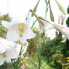『真夏の暑さに強いタカサゴユリ(台湾ユリ)の良い花を咲かせる育て方』の画像