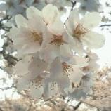 『今年の桜もあと少し・・・』の画像