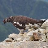 『19年ぶりの人工孵化ニホンライチョウのヒナ天国へ』の画像