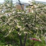 『木にスズランのような花』の画像