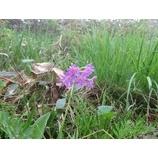 『田代山、会津駒ヶ岳トレッキング。お花が楽しめました!』の画像