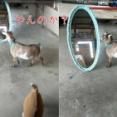 鏡の前で子ヤギが…自分を大きく見せようとする(動画)
