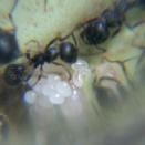 クロナガアリも孵化