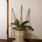『意外と簡単!胡蝶蘭(ファレノプシス)の植え替え』の画像