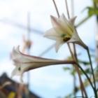 『冬に咲くユリとバラの花』の画像