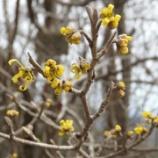 『多良岳に春の訪れを告げるマンサクの花』の画像