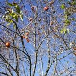 『百目柿・テーブル納品』の画像