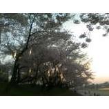 『桜フェロモン』の画像