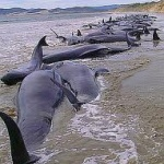 大地震の予兆? チリの海岸でクジラ大漁打ち上げ!! オカルト板で隕石落下を予言していた人もいた!