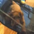 子犬がペットサークルの中にいた。いっくよ~♪ → 新しい遊びを覚えたようです…