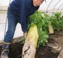長さ1mジャンボ大根収穫 活性エキス散布