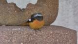家に来る鳥について名前教えて(※画像あり)