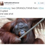 『射殺されたオランウータン。続く動物園での死』の画像