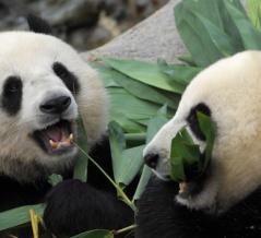 10年間も交尾を拒んだジャイアントパンダ、閉園で人がいなくなった隙に自然交配を達成wwww