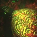 『生体からの発光:光るウミガメを発見』の画像