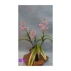 『ウチョウランの花が開花中』の画像