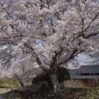 『小布施の桜』の画像