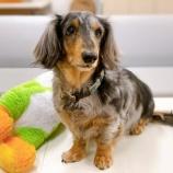 『【犬】ジルくん(ダックスフンド)里親募集を開始しました』の画像