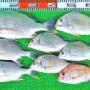 湾内ハイカラ釣りは大潮の午後の込潮だけでパレット3枚の大漁!